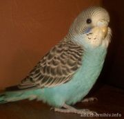 продам волнистого попугая с клеткой