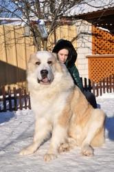 среднеазиатской овчарки элитные крупные щенки от папы гиганта