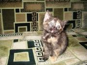 Подарим очаровательную трёхцветную мраморную кошечку