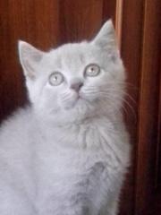 Очаровательный британский котенок лилового окраса.Привит,  проглистован