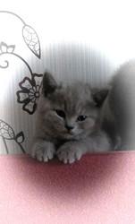 Котёнок БРИТАНЕЦ  скоттиш- страйт