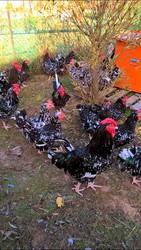 продам цыплят редких пород австролорп черно-пестрый фавероль